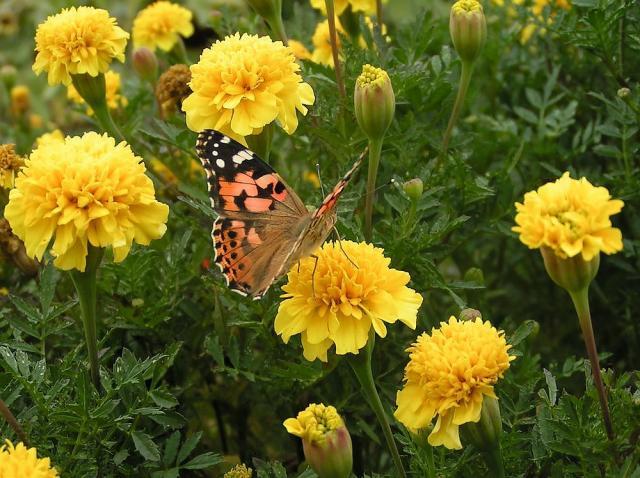マリーゴールドとヒメアカタテハ蝶